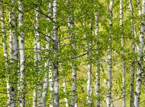 vidéo forêt de bouleaux saeve paris